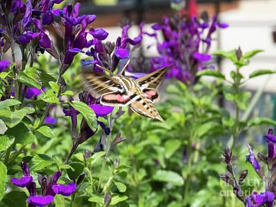 Photograph - Hummingbird Moth by Christy Garavetto