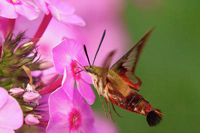 Photograph - Hummingbird Moth Feeding 1 by Brian Hale