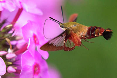 Photograph - Hummingbird Moth Feeding 2 by Brian Hale