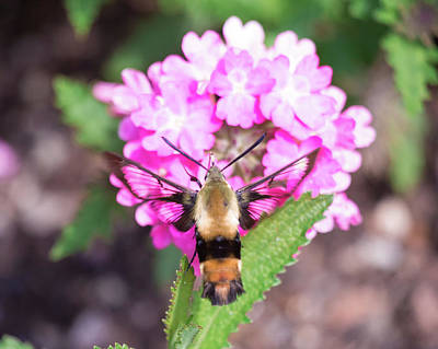 Photograph - Hummingbird Moth Feeding 3 by Brian Hale