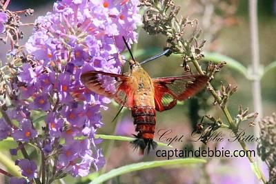 Photograph - Hummingbird Moth  Hemaris Diffinis 8717 by Captain Debbie Ritter