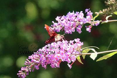 Photograph - Hummingbird Moth  Hemaris Diffinis 8734 by Captain Debbie Ritter