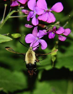 Photograph - Hummingbird Moth Hovering by Allen Nice-Webb