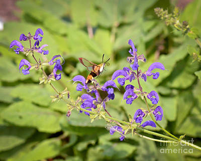 Photograph - Hummingbird Moth In Flight by Kerri Farley