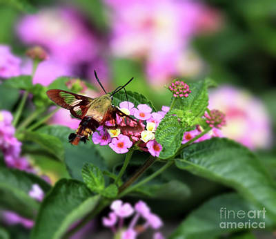 Photograph - Hummingbird Moth In The Lantana by Kerri Farley