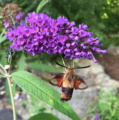 Photograph - Hummingbird Moth by Jason Nicholas
