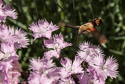 Photograph - Hummingbird Moth by Jeff Folger