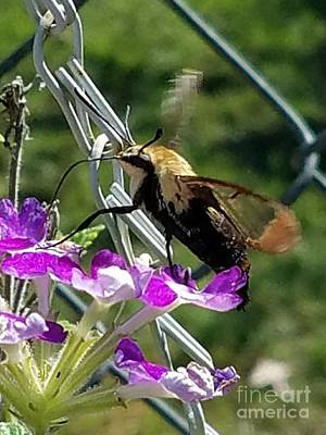 Photograph - Hummingbird Moth by Maria Urso