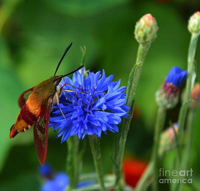 Hummingbird Moth Art Print by Marjorie Imbeau