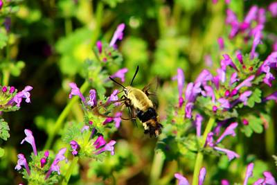 Photograph - Hummingbird Moth On Henbit by Kathryn Meyer