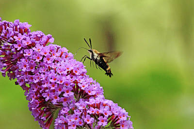 Photograph - Hummingbird Moth Sipping Nectar by Debbie Oppermann
