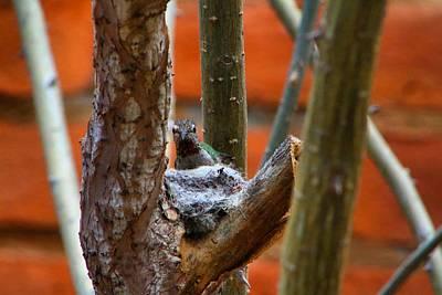Photograph - Hummingbird Nest 2 by Kathryn Meyer
