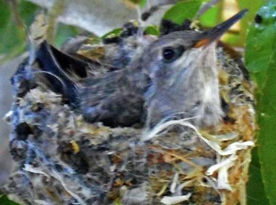 Photograph - Hummingbird Nest 5 by Ron Kandt