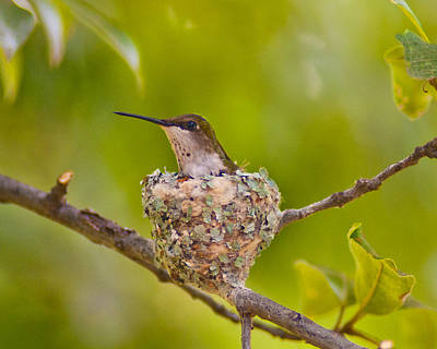 Photograph - Hummingbird Nesting by Don Wolf