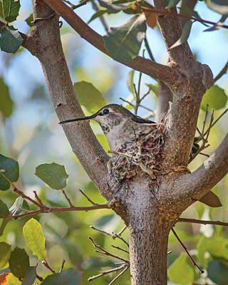 Photograph - Hummingbird - Nesting by Nikolyn McDonald