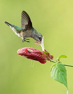 Photograph - Hummingbird Nose Dive by William Jobes