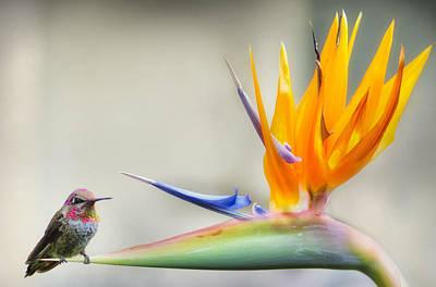 Hummingbird Of Paradise Art Print by Lawrence Knutsson