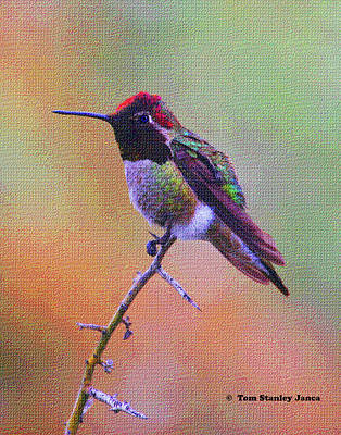 Hummingbird On A Stick Art Print by Tom Janca