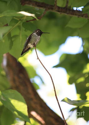 Photograph - Hummingbird On High Branch by Carol Groenen