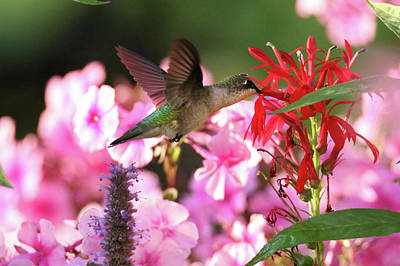 Photograph - Hummingbird On Lobelia by Brook Burling