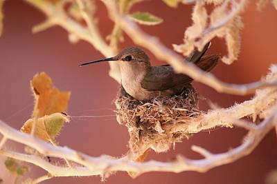 Photograph - Hummingbird On Nest by Brook Burling