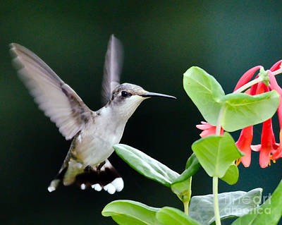Photograph - Hummingbird On The Approach by Kerri Farley