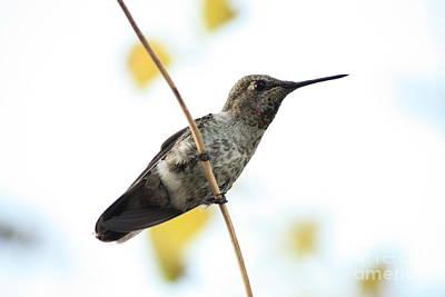 Photograph - Hummingbird On Tightrope by Carol Groenen