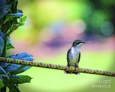 Photograph - Hummingbird On Watch by Sue Melvin