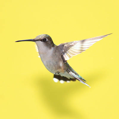 Rufous Wall Art - Photograph - Hummingbird On Yellow 1 by Robert  Suits Jr