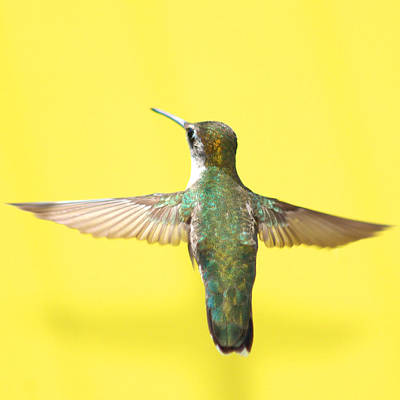 In Flight Photograph - Hummingbird On Yellow 4 by Robert  Suits Jr