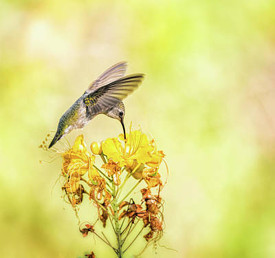Photograph - Hummingbird On Yellow  by Saija Lehtonen
