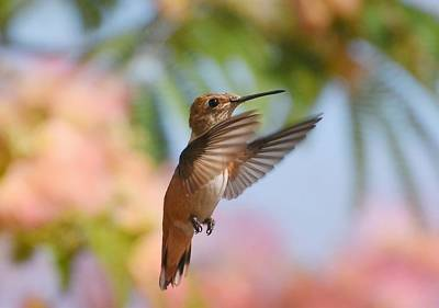 Photograph - Hummingbird Pastel by Fraida Gutovich