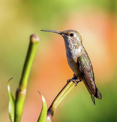 Photograph - Hummingbird Perched II by Athena Mckinzie