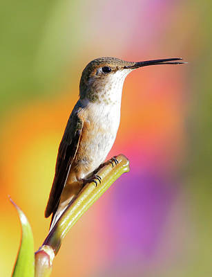 Photograph - Hummingbird Perched IIi by Athena Mckinzie