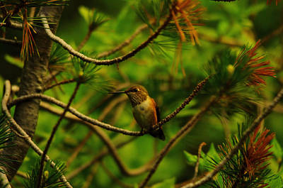 Fowl. Wildlife Photograph - Hummingbird Perched by Jeff Swan