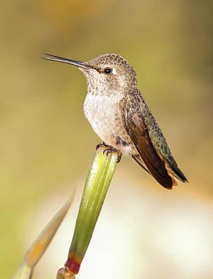 Photograph - Hummingbird Perched V by Athena Mckinzie