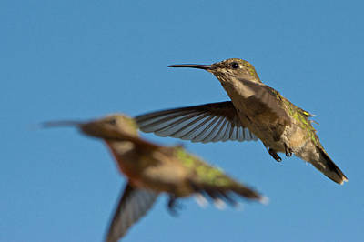 Photograph - Hummingbird Photobomb by Linda Shannon Morgan
