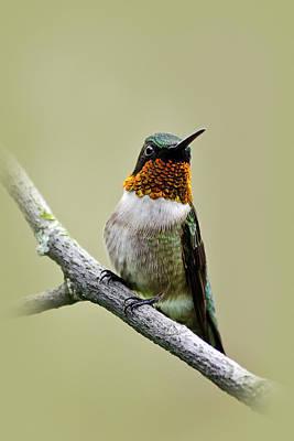 Photograph - Hummingbird Portrait by Christina Rollo