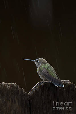 Photograph - Hummingbird Rain by Christy Garavetto