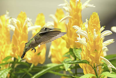 Photograph - Hummingbird Reaches For The Gold by William Jobes