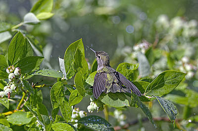 Calypso Photograph - Hummingbird Shower by Sharon Talson