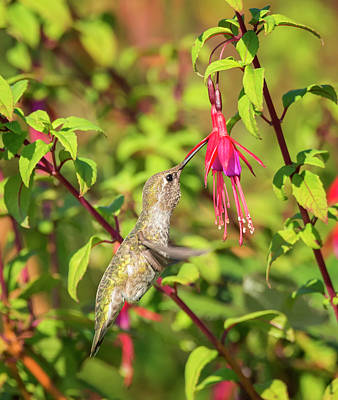 Photograph - Hummingbird Sipping Nectar by Loree Johnson