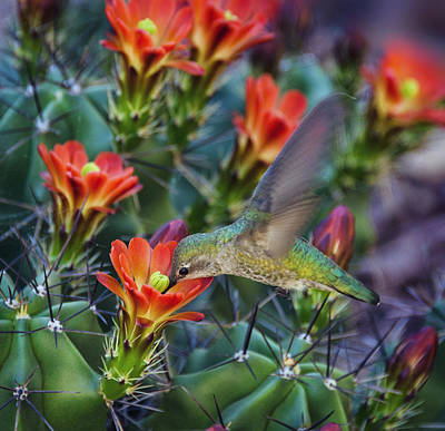 Photograph - Hummingbird Sipping On Cactus Nectar by Saija Lehtonen