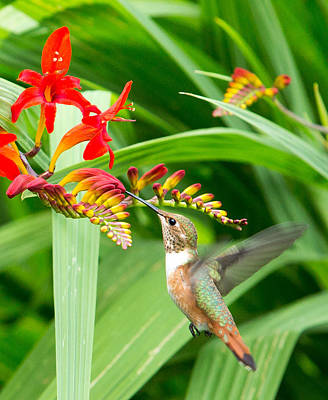 Photograph - Hummingbird Snacking by Rebecca Cozart