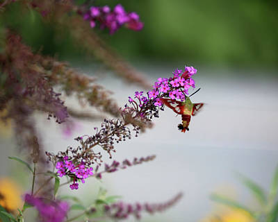 Purple Phlox Bush Photograph - Hummingbird Sphinx Profile by Theresa Campbell