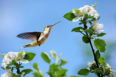 Hummingbird And Flowers Photograph - Hummingbird Springtime by Christina Rollo