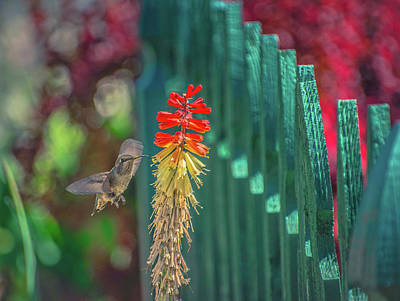 Photograph - Hummingbird by Steph Gabler