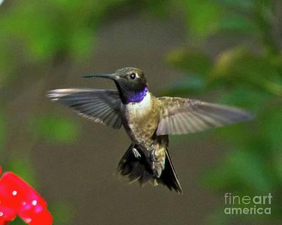 Photograph - Hummingbird by Stephen Whalen