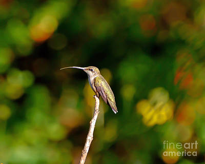 Photograph - Hummingbird Sticks Her Tongue Out by Kerri Farley