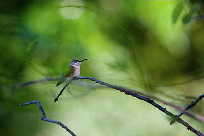 Art Print featuring the photograph Hummingbird Sticks Out Tongue by Jane Melgaard